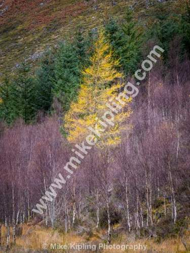 Single Larch in Autumn, Kildermorie Estate near Alness, Ross and Cromarty, Highland, Scotland - Kildermorie, Estate, Trees, Woodland, Larch, Golden, Autumn,