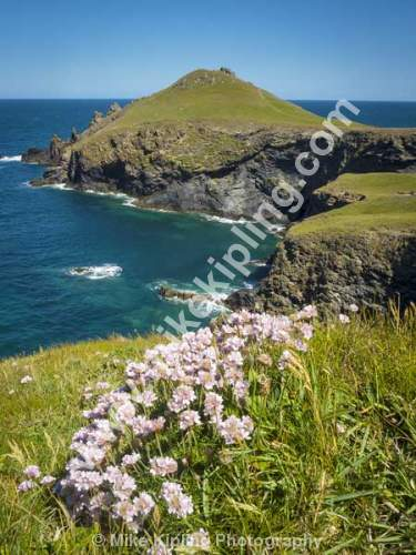 Pink Thrift on the Cliff Top, The South West Coast Path near the Rumps and Pentire Point, North Cornwall - Cornwall, The Rumps, Pentire, Point, South, West, Coast, Path, Spring, Thrift, Pink, Flower, Cliff,