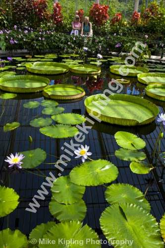 The Lily House at Kew Gardens, West London - London, Kew, Gardens, lily, lilium, leaves, water, flower,