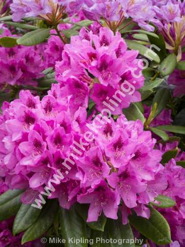 Rhododendrum, Cragside, Northumberland - Northumberland, Cragside, rhododendrums,