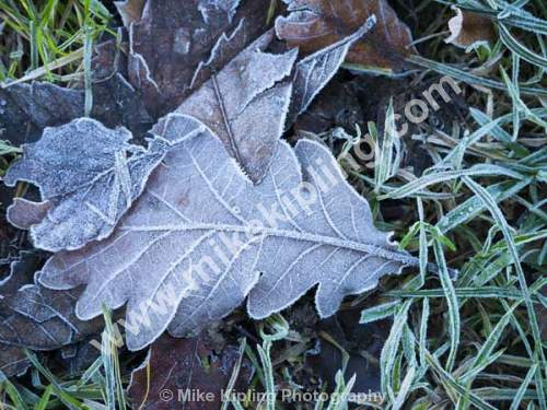 Frosty Leaf on Grass - Winter, Oak, Leaf, Frost, Winter,