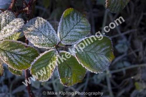 Bramble leaves with frost - Bramble, Rubus fruticosus, Leave, Frost, Ice, Winter, Cold,