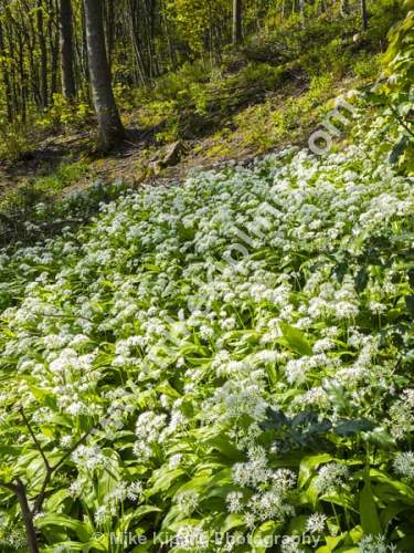 Wild Garlic, Allium ursinum - Wild Garlic, Allium ursinum, ramsons, buckrams, wild garlic, broad-leaved garlic, wood garlic, bear leek, White, Flowers, Woodland,