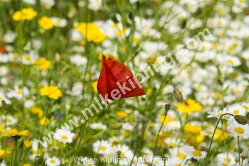 Single Poppy in Wild Flower Meadow, Yorkshire - Wild, Flowers, Meadow, Red, Poppy, White, Daisy,