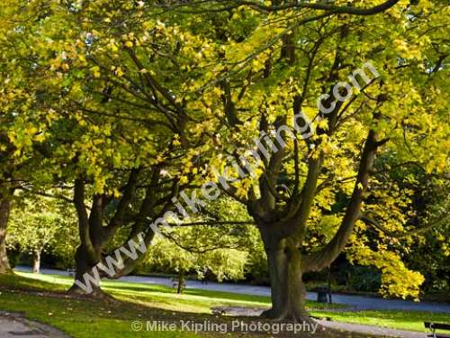Acer trees at Autumn, Valley Gardens, Harrogate, North Yorkshire - Yorkshire, Harrogate, Valley, Gardens, trees, autumn,