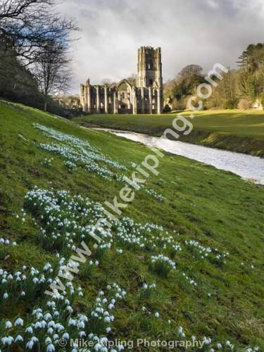 Snowdrops at Fountains Abbey near Ripon, North Yorkshire - Yorkshire, Ripon, Fountains, Abbey, Snowdrops, Spring, Heritage,