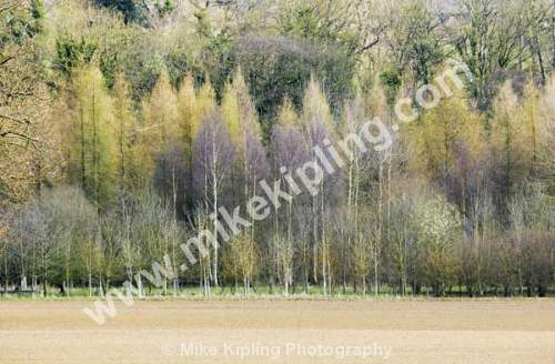 Large and Birch trees in winter, near Sinnington, North Yorkshire - Yorkshire, Sinnington, Woodland, Larch, Birch, Trees,