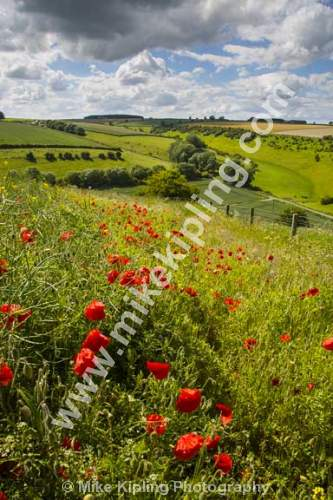 Rape Seed Field with Poppies near Thixendale, Yorkshire Wolds south of Malton - Yorkshire, Wolds, Thixendale, Poppies, Rape, Seed, Agriculture, Crop, Red,