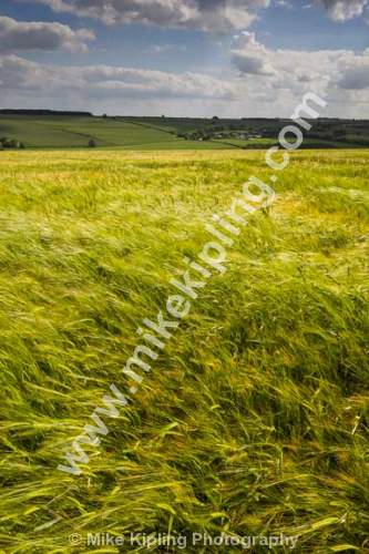 Barley Field neat Fimber, Yorkshire Wolds - Yorkshire, Wolds, Fimber, Barley, Agriculture, Crop,