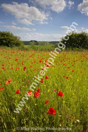 Poppy Field near Fimber, Yorkshire Wolds south of Malton - Yorkshire, Wolds, Poppies, Rape, Agriculture, Red, Flowers, Field,