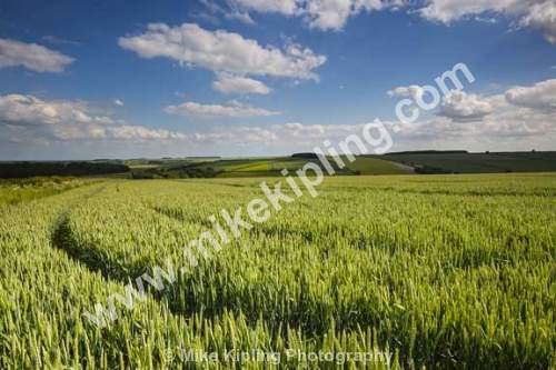 Wheat Field neat Fimber, Yorkshire Wolds - Yorkshire, Wolds, Wheat, Field, Agriculture, Crop,