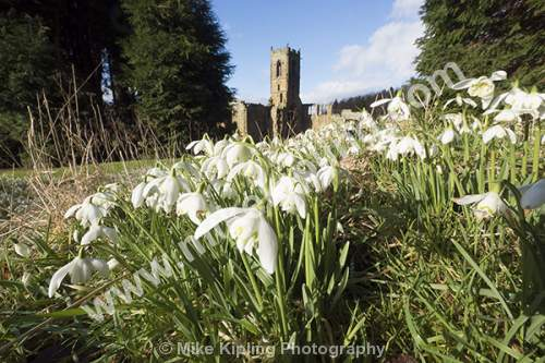 Snowdrop Time at Mount Grace Priory Straddle Bridge near Northallerton, North Yorkshire - Yorkshire, Mount Grace, Priory, Snowdrops, Heritage, Carthusian,
